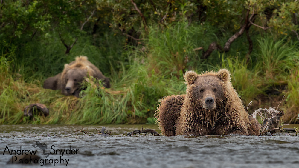 A brown bear sits in the river while another naps in the background - Katmai, Alaska