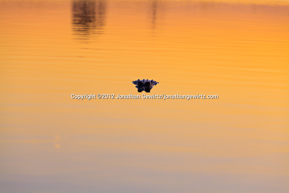 An American Alligator (Alligator mississippiensis) floats facing the camera in water colored a dramatic orange by light from the setting sun in Pine Glades Lake, Everglades National Park, Florida. WATERMARKS WILL NOT APPEAR ON PRINTS OR LICENSED IMAGES.