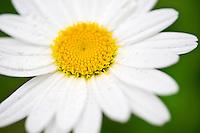 wet daisy flower