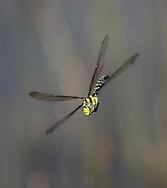 Southern Hawker - Aeshna cyanea