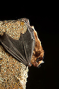 A big brown bat (Eptesicus fuscus), Central Washington desert.
