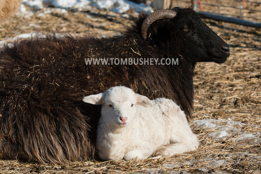 A lamb lies next to a sheep on a cold winter afternoon at Banbury Cross Farm in Goshen, New York.