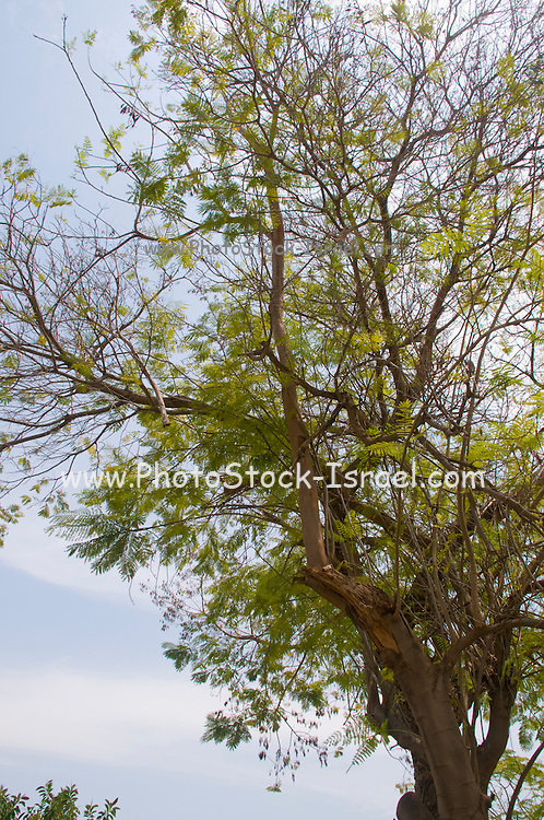 Peltophorum dubium Yellow Poinciana