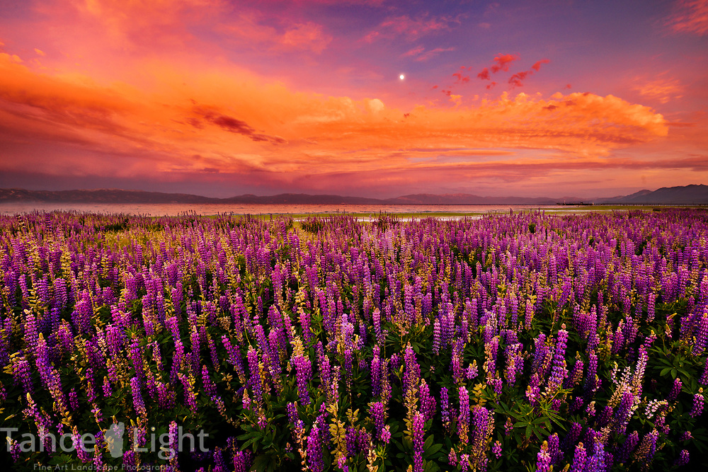 Fields of lupin wildflowers and thunderstorms at Lake Tahoe on the north shore