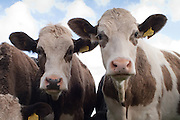 Two Heifers<br />