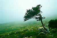 Advection fog passes over a Bristlecone pine on Mount Evans, Colorado.   Advection occurs when cooler air blows through an area while the moisture content of the air is not reduced enough to avoid saturation.