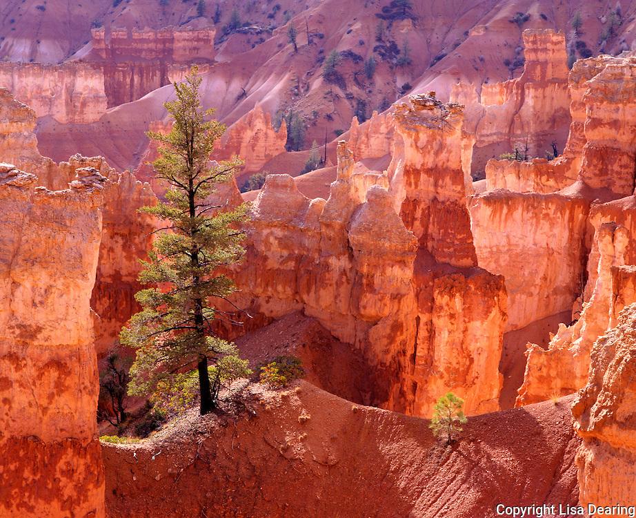 Lone Tree and Hoodoos, Bryce National Park, Utah