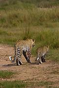 Leopard with cub, Serengeti National Park, Tanzania.