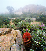 6104-1001D ~ Copyright:  George H. H. Huey ~ Barrel cactus [Ferocactus gracilis] in morning fog among granite boulders.  Catavina area.  Central Baja California.  Mexico.6104-1001D ~ Copyright:  George H. H. Huey ~ Barrel cactus [Ferocactus gracilis] in morning fog among granite boulders.  Catavina area.  Central Baja California.  Mexico.6104-1001D ~ Copyright:  George H. H. Huey ~ Barrel cactus [Ferocactus gracilis] in morning fog among granite boulders.  Catavina area.  Central Baja California.  Mexico.