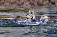 Sea otter female, pup and male in a scuffle at the Inian Islands in Icy Straits, Alaska.