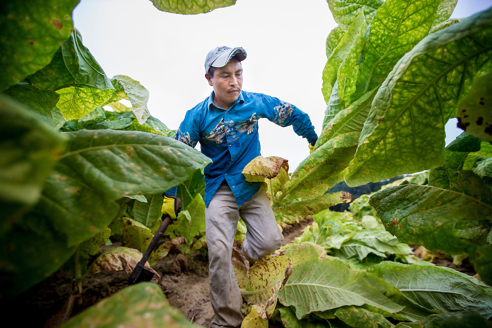 Rosalino Santiago Garcia, 33, harvests a crop of burley tobacco near Fountain Run, Kentucky. The migrant worker from Santa Ana, Oaxaca, Mexico, leaves his wife and three children for nine months at a time to earn a living wage. Nick Wagner / Alexia Foundation