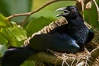Curl-crested Manucode (Manucodia comrii) at nest.  This species is one of the most primitive birds of paradise, similar to a crow-like ancestral form.  Males and femalese look alike.