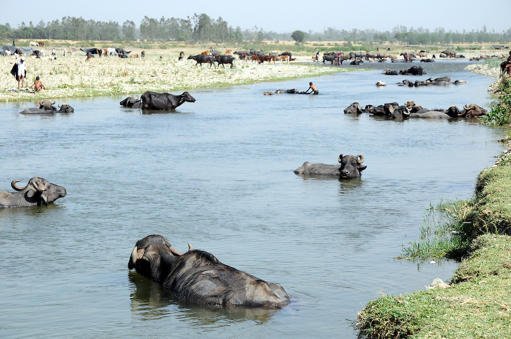 Buffaloes cooling off by the Asan River, where we stopped for a week while waiting to see if the forest department would change its mind and grant Dhumman's family a grazing permit for their ancestral meadows.