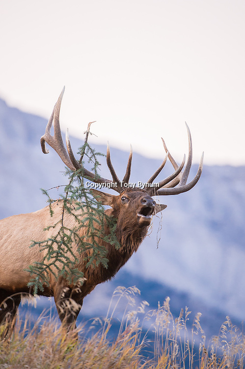 bugeling bull elk with mountains