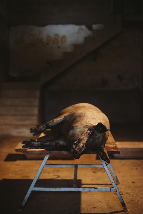 An Iberico pig waiting to be butchered. Finca Al Cornocal, Extramadura (Barajoz Province), Spain
