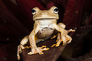 Rosenberg's Gladiator Treefrog (Hypsiboas rosenbergi) CAPTIVE<br /> Chocó Region of NW ECUADOR. South America