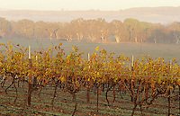 Vineyard in rural landscape Victoria Australia