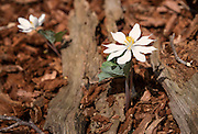 Love the contrast of the Bloodroot flowers amount the decaying logs.