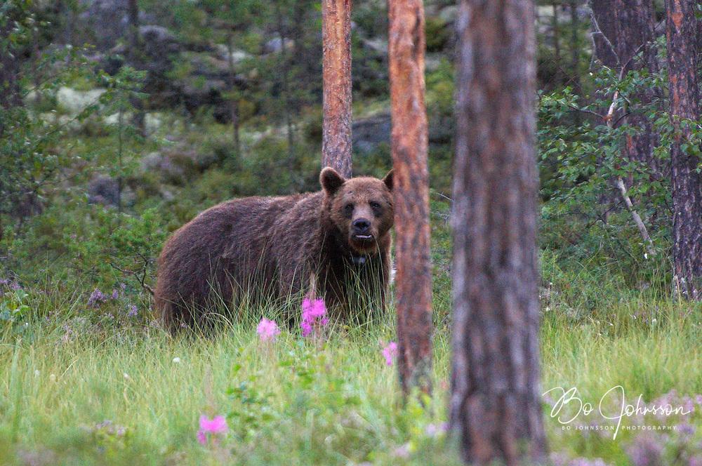 Wary male brown bear (Ursus arctos) in the wild forests near Edsbyn in Halsingland, Sweden. <br /> July 2008.