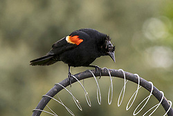 A Red-winged Blackbird whose head appears to be in some sort of irregular molting period