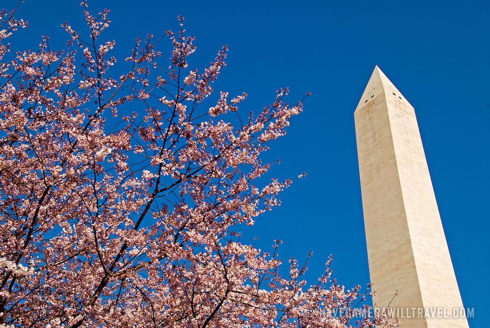 Washington Monument with pink cherry blossoms blooming in the foreground against a clear blue sky.