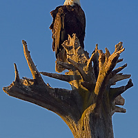 Bald Eagles are a common sight during the spring and summer on the Homer Spit in Homer, Alaska.