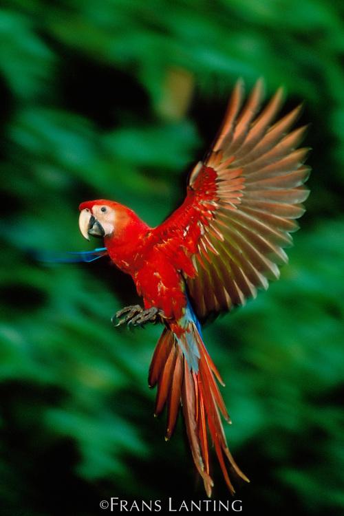 Scarlet macaw juvenile landing, Ara macao, Tambopata National Reserve, Peru
