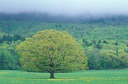 Northern Red Oak, Quercus rubra.  Sandwich, NH