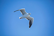 Gull in flight in blue sky over the North West Atlantic Ocean, Massachusetts, USA