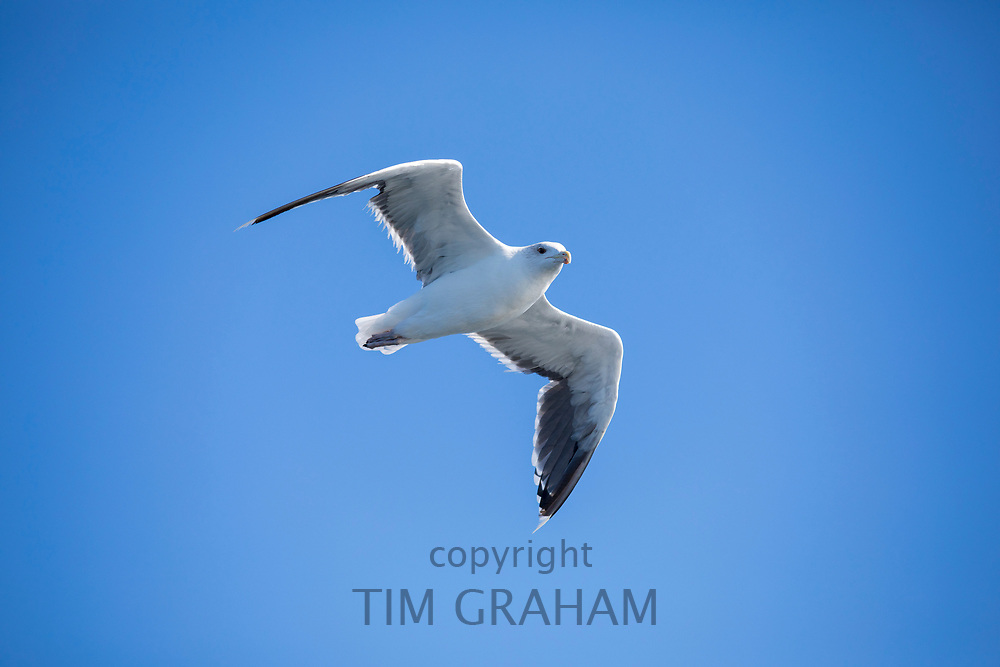 Gull in flight in blue sky over the North West Atlantic Ocean, Massachusetts, USA