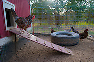 Backyard poultry is becoming popular in urban and rural communities. Chickens raised for egg production in small enclosures and small flocks.