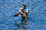 Australasian Crested Grebe, Lake Wakatipu, New Zealand