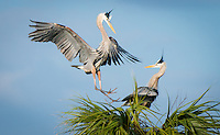 A male great blue heron flys in to a nest in order to mate with the female just moments after the other male left to retrieve nesting material
