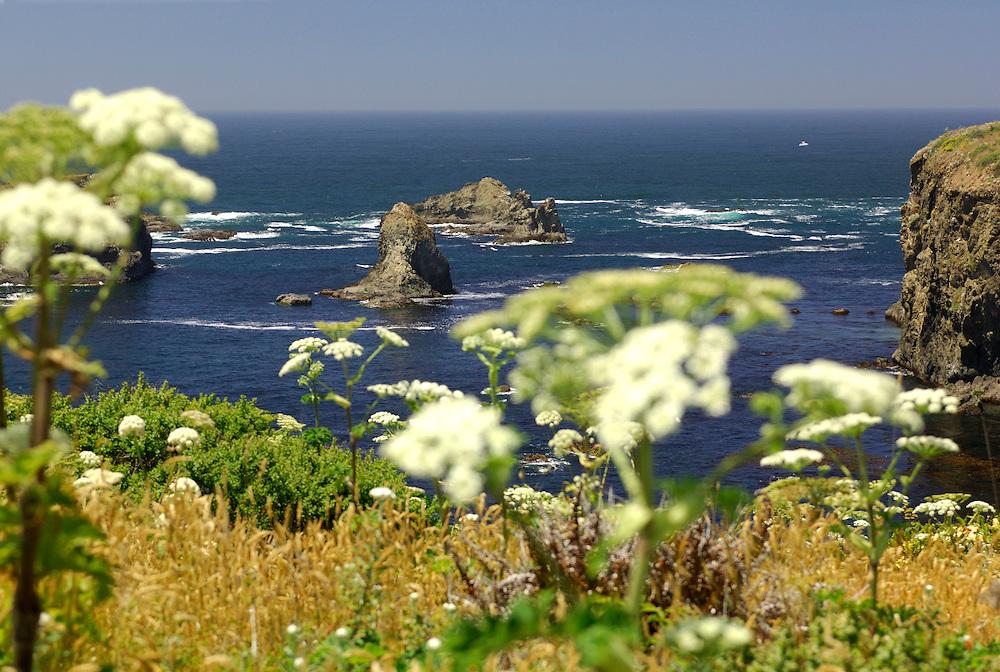 Flowers along coastal Highway 1 near Fort Bragg, California, United States of America