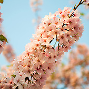 A closeup of the cherry blossom flowers a few days after peak bloom. The Yoshino Cherry Blossom trees lining the Tidal Basin in Washington DC bloom each early spring. Some of the original trees from the original planting 100 years ago (in 2012) are still alive and flowering. Because of heatwave conditions extending across much of the North American continent and an unusually warm winter in the Washington DC region, the 2012 peak bloom came earlier than usual.