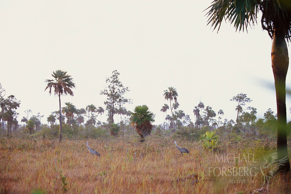 Just after dawn, two Cuban sandhill cranes walk through a palm-pine savanna in Los Indios Nature Reserve, a key habitat on the Isle of Youth where fully a third of the endangered Cuban sandhills reside.