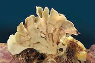 Flustra foliacea