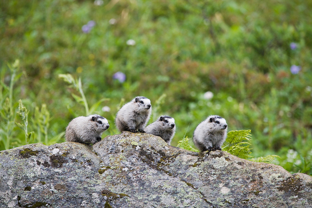 Hoary Marmot pups on a boulder with field of wildflowers in background keeping watch for danger at Hatcher Pass in Southcentral Alaska. Summer. Afternoon.
