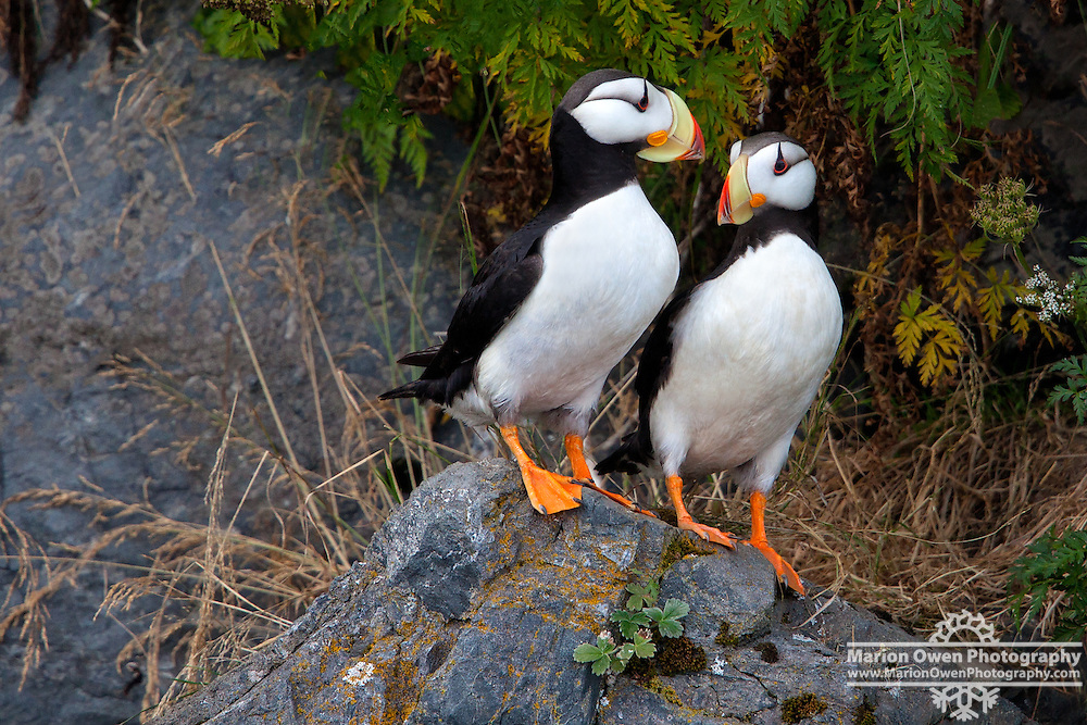 A pair of puffins rest outside their burrow in Kodiak, Alaska