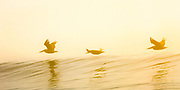 Three brown pelicans surfing the rising air above a wave on a foggy morning in Duck at the Outer Banks of NC.