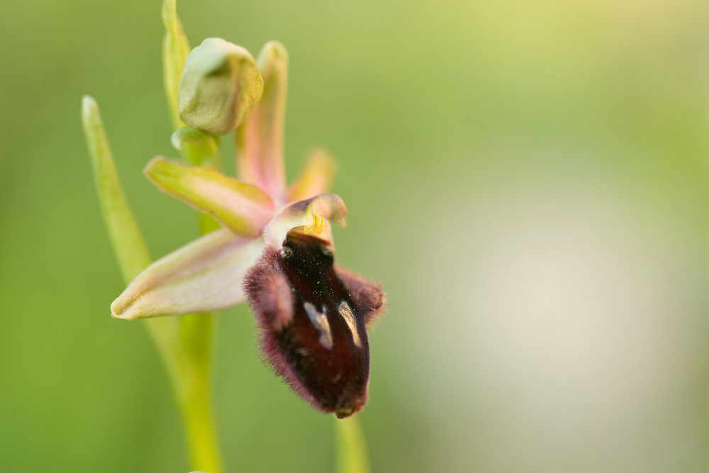 Apulia; Gargano Peninsula; Italy; Ophrys, Ophrys speculum
