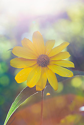 A lovely yellow daisy basking in the morning sunlight.