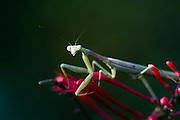 Praying mantis on a firespike bloom.