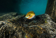Bluegill (on spawning nest)<br />