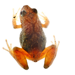 Spring peeper frog. Seacoast Science Center, Rye, NH.
