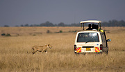 Safari tourists meet with the lion in Maasai Mara, Kenya.