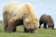Grizzly Sow and Cub Feeding on Grass at Silver Salmon Creek, Lake Clark National Park, Alaska