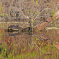 Scenic Florida wildlife photography image showing a meet and greet of a turtle and an alligator at Six Mile Cypress Slough near Fort Myers, Florida. Wildlife photos are available for picture image licensing and as museum quality photography prints, canvas prints, acrylic prints or metal prints. Fine art prints may be framed and matted to the individual liking and decorating needs.<br />
