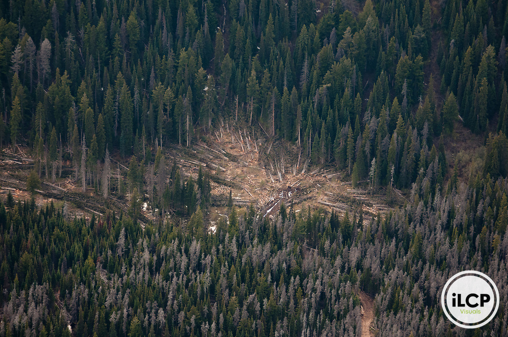 The mountain pine beetle epidemic, which is raging unchecked due to a string of mild winters, may eliminate up to 80% of the native pine forest.