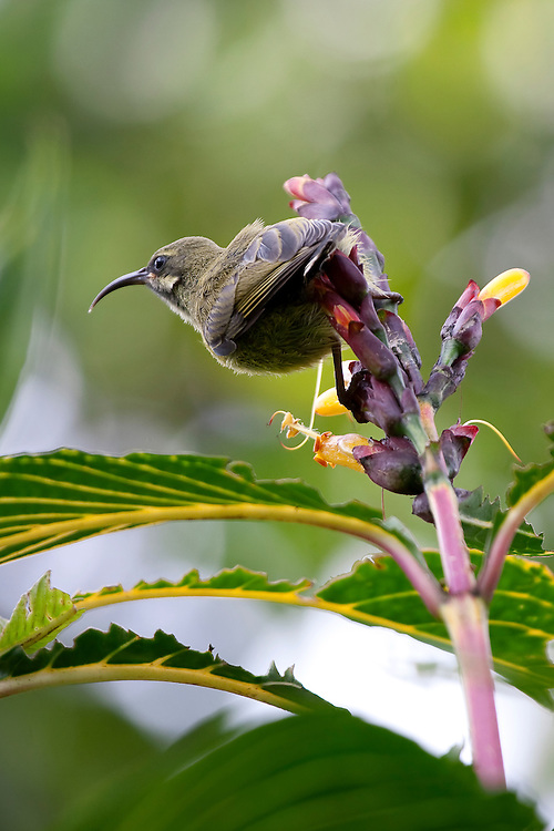 (Nectarinia kilimensis) Sunbirds are a great example of convergent evolution - they take the place of hummingbirds, using their curved beak to feed on the nectar of flowers. Tanzania